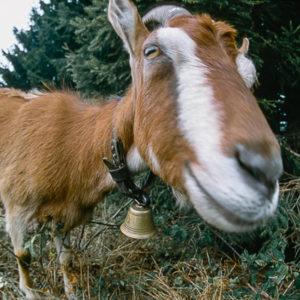 usmiechnieta koza